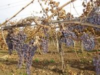 Wine_grapes_in_Eger_vineyard.jpg
